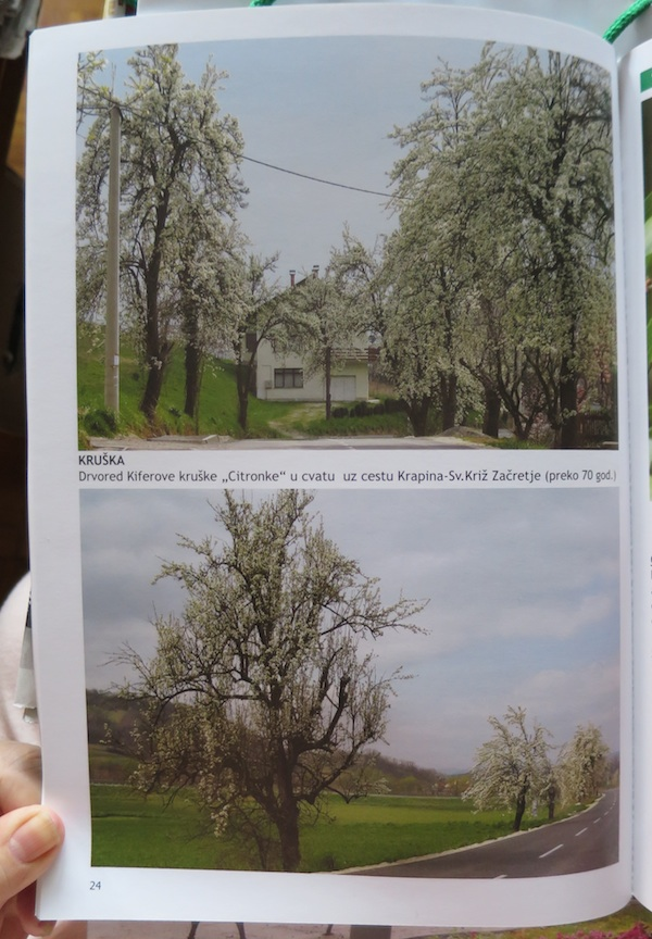 "Citronka, drvored u knjizi ""Zagorje, trnac starih sorata voća"