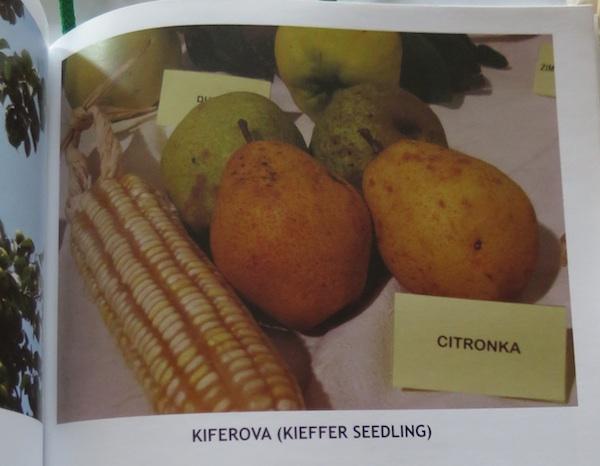 citronka_plod