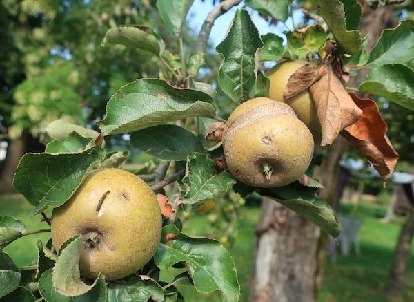 Na okućnici Reparovih iz Matenaca stare jabuke rodne, ali oštećene tučom (Fotografija Miljenko Brezak)